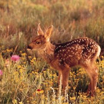 Deer can dig up flower bulbs, trample plants and feed on foliage.