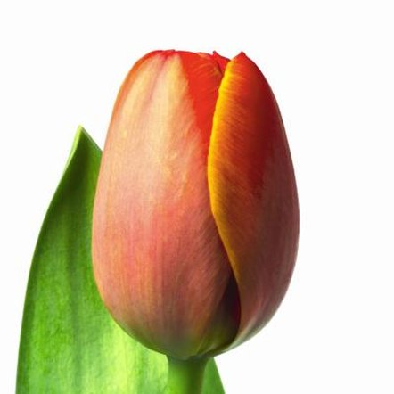 Early-blooming tulips are recommended for forcing in water.