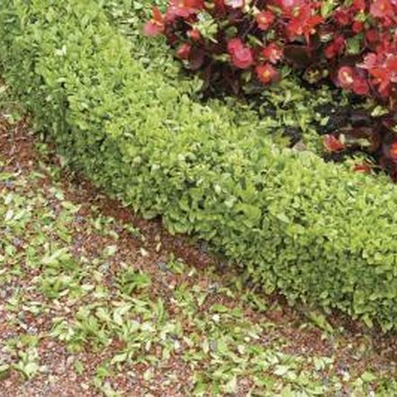 A healthy boxwood hedge with no yellowing leaves.