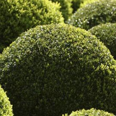 Shape one shrub into a ball, or several to create a focal point.