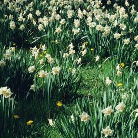 Every part of the daffodil is poisonous to dogs as well as people.