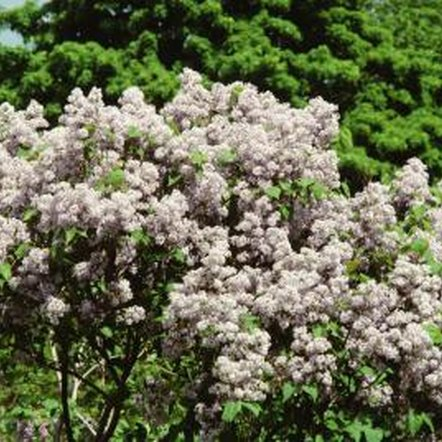 White lilacs bloom in the spring with fragrant flowers.