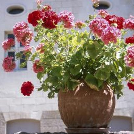 The fertilization needs of indoor geraniums are low because they don't compete with other plants for nutrients.
