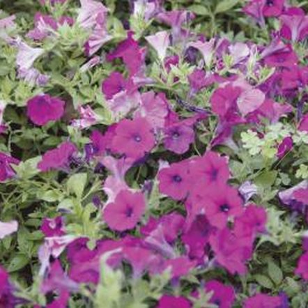 Petunias look like a colorful buffet to many animals.