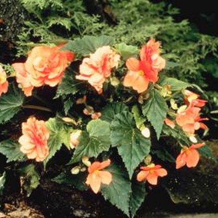 Plant begonias in well-drained soil to prevent stem rot.