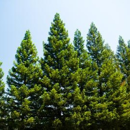 About 45 pine species grow in the United States.
