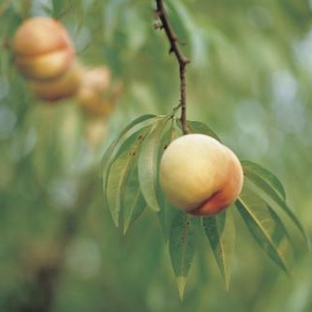 Peach trees will not bear fruit for the first several years.