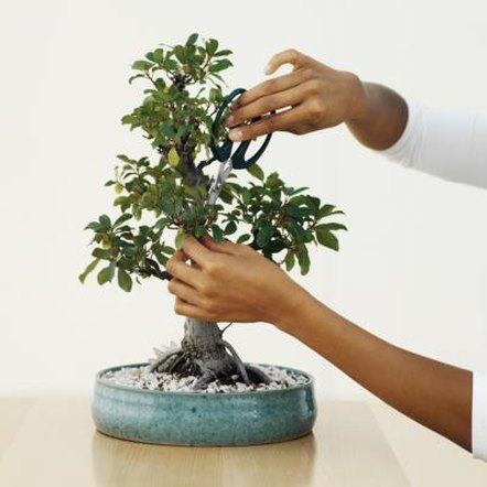 It may take a few years to achieve the desired results in a bonsai tree.