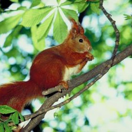 Tin protects trees from squirrel damage.