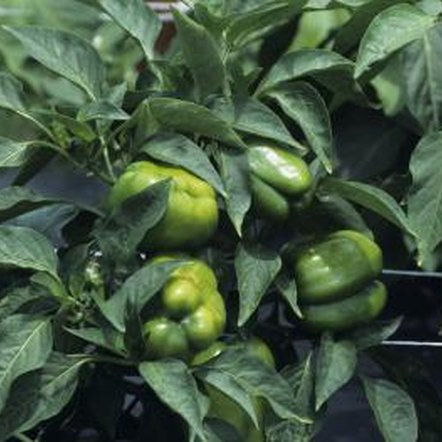 Crisp and thick-walled, green peppers are a good choice for container planting.