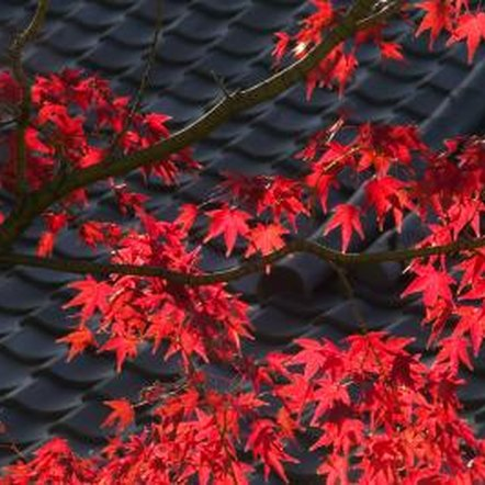 Red coloring and uncommon leaf shape make Japanese maples visually interesting.