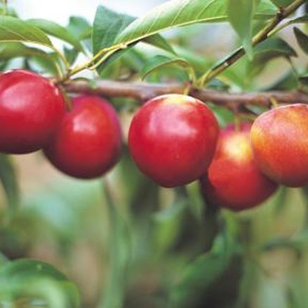 A heavy fruit load can cause branches to break under the weight of the apples.