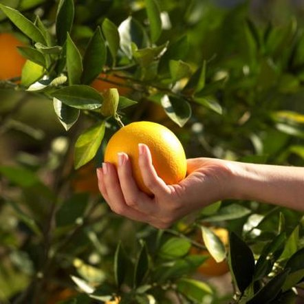 Citrus leaves should be glossy and green, not yellow.