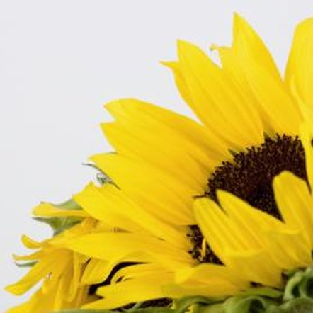 The large blooms of the sunflower plant provide a tasty harvest.