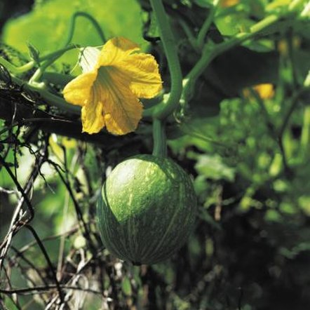 Dwarf watermelons can be grown in 18-inch deep containers with an A-frame trellis.