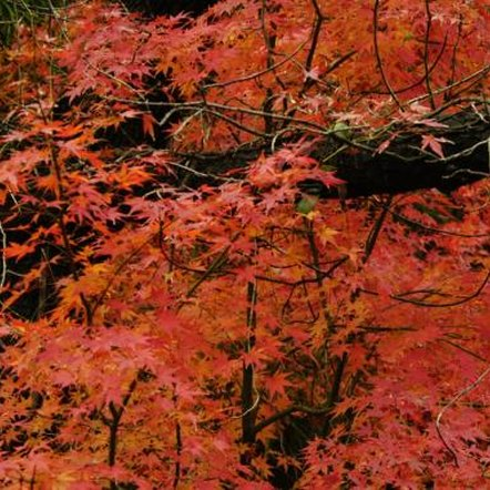 Japanese maples prefer full sun to partial shade with well-drained soil.