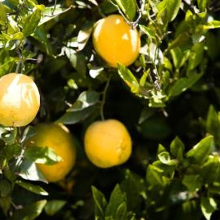 how to grow oranges at home