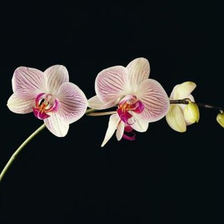 Phalaenopsis thrive in warmer temperatures compared to dendrobiums.