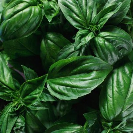 Basil, part of the mint family of plants, Lamiaceae, is an herb used in cooking, but is also prized as a border plant in home gardens.