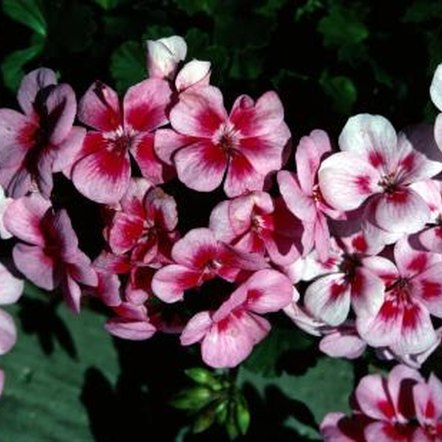Geraniums often occur as wildflowers.