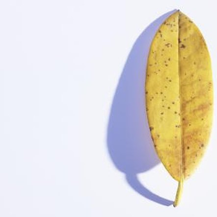 Remove any yellow leaves when cutting back a rubber tree plant.