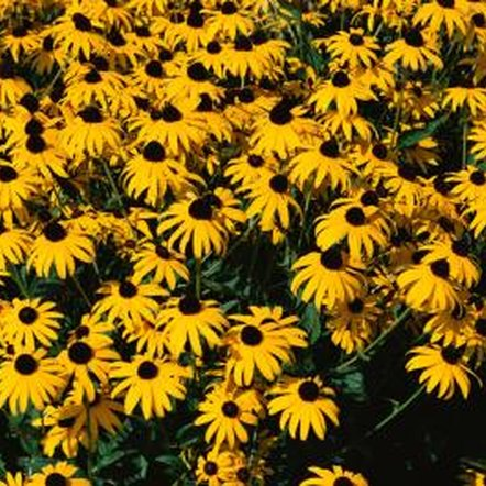 Black-eyed Susans are easy to grow and relatively pest-free.