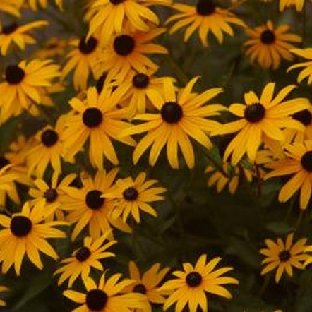 Black-eyed susan seeds germinate indoors or out.