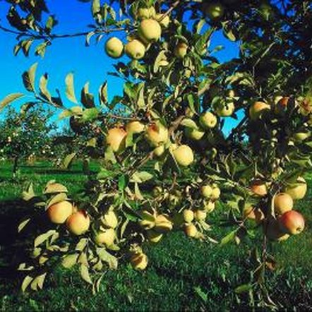 Fuji apple trees are hardy in U.S. Department of Agriculture plant hardiness zones 6 to 9.
