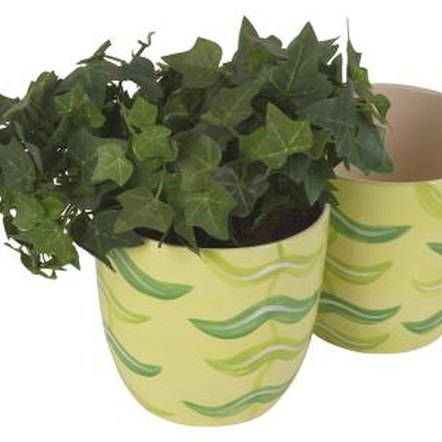 English Ivy grows easily in pots.