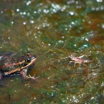 Natural predators, such as frogs and lizards, help control cricket populations.