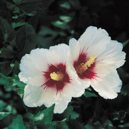 Certain varieties of rose of Sharon produce double blooms.