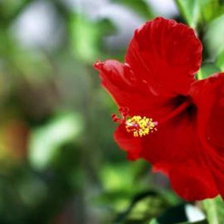 Cold temperatures can kill off hibiscus plants and their bright flowers.