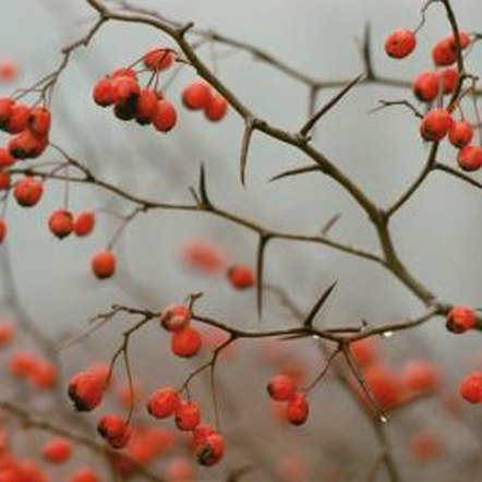 Bushes and shrubs with red berries make beautiful additions to gardens.