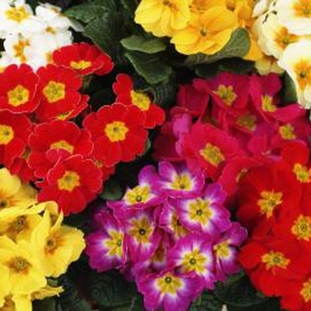 Primroses offer brilliant colors for shady areas.