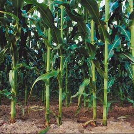 Nitrogen fertilizers boost plant health, vigor and production.
