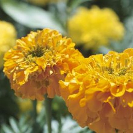 Marigolds are typically yellow, off-white and orange, but new hybrids bring pastels to the palette.