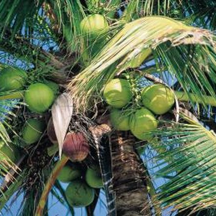 The coconut palm is economically important to many developing countries.