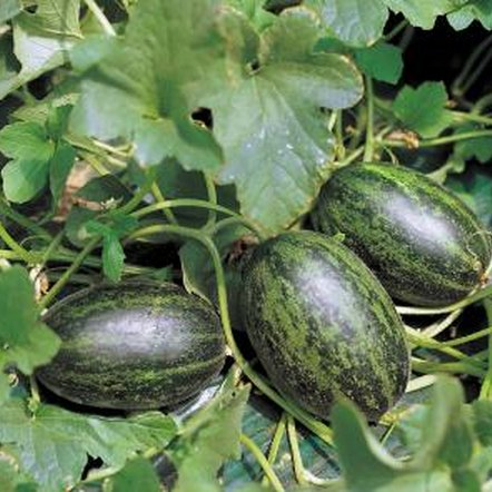 Provide watermelon vines with the nutrients they need.