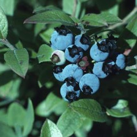 Blueberry bushes produce best when multiple cultivars are planted together.