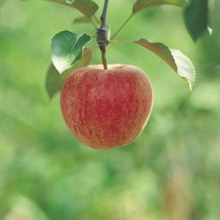 Red apple-producing trees tend to have a high chilling-hours requirement.