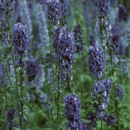Some lavenders are sterile hybrids and do not produce viable seeds.