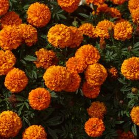 Marigolds look best when clumped together.