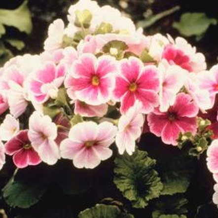 Potted primroses can bloom for several months.