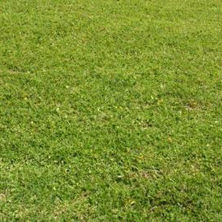 Overseeding ensures a healthy looking lawn after top-dressing.