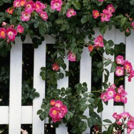 A white picket fence draws attention to colorful, draping blossoms.