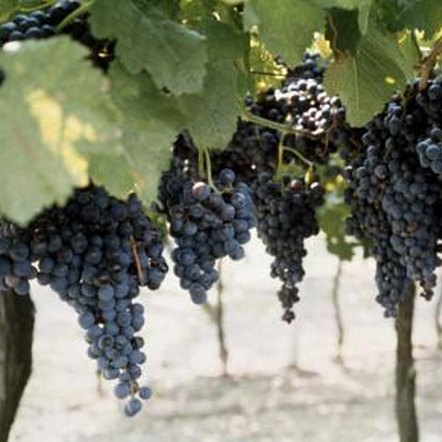 Knowing whether grapevine flowers are male or female helps growers produce desired results.