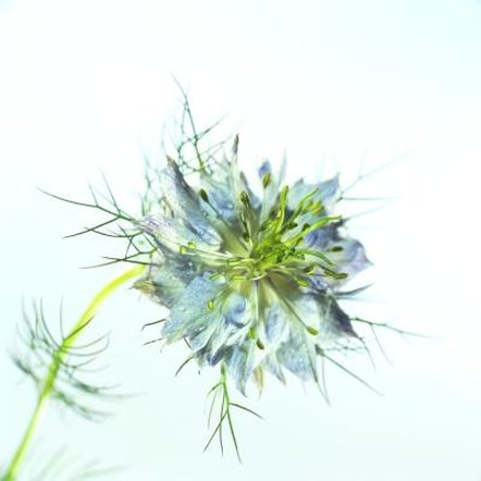 Nigella sative produces an interesting flower and edible seeds.