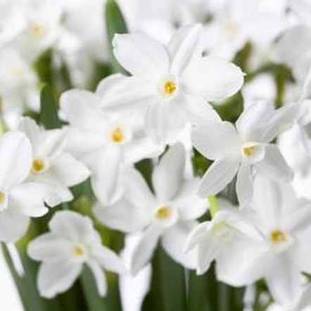 Narcissus makes a lovely cut flower for springtime bouquets.