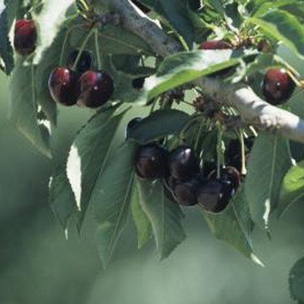 Espaliers reduce the amount of space required to grow a cherry tree.