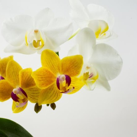 Phalaenopsis orchids are fairly easy to grow.